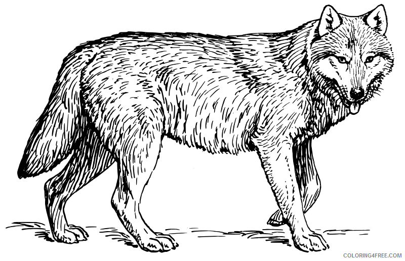 - Wolf Coloring Pages Realistic Coloring4free - Coloring4Free.com