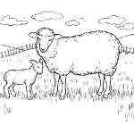 Sheep Coloring Pages