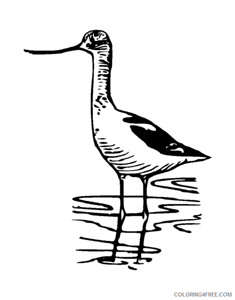 Avocet Coloring Pages Avocet 1 png Printable Coloring4free