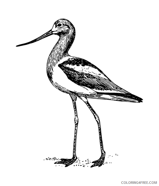 Avocet Coloring Pages avocet png Printable Coloring4free
