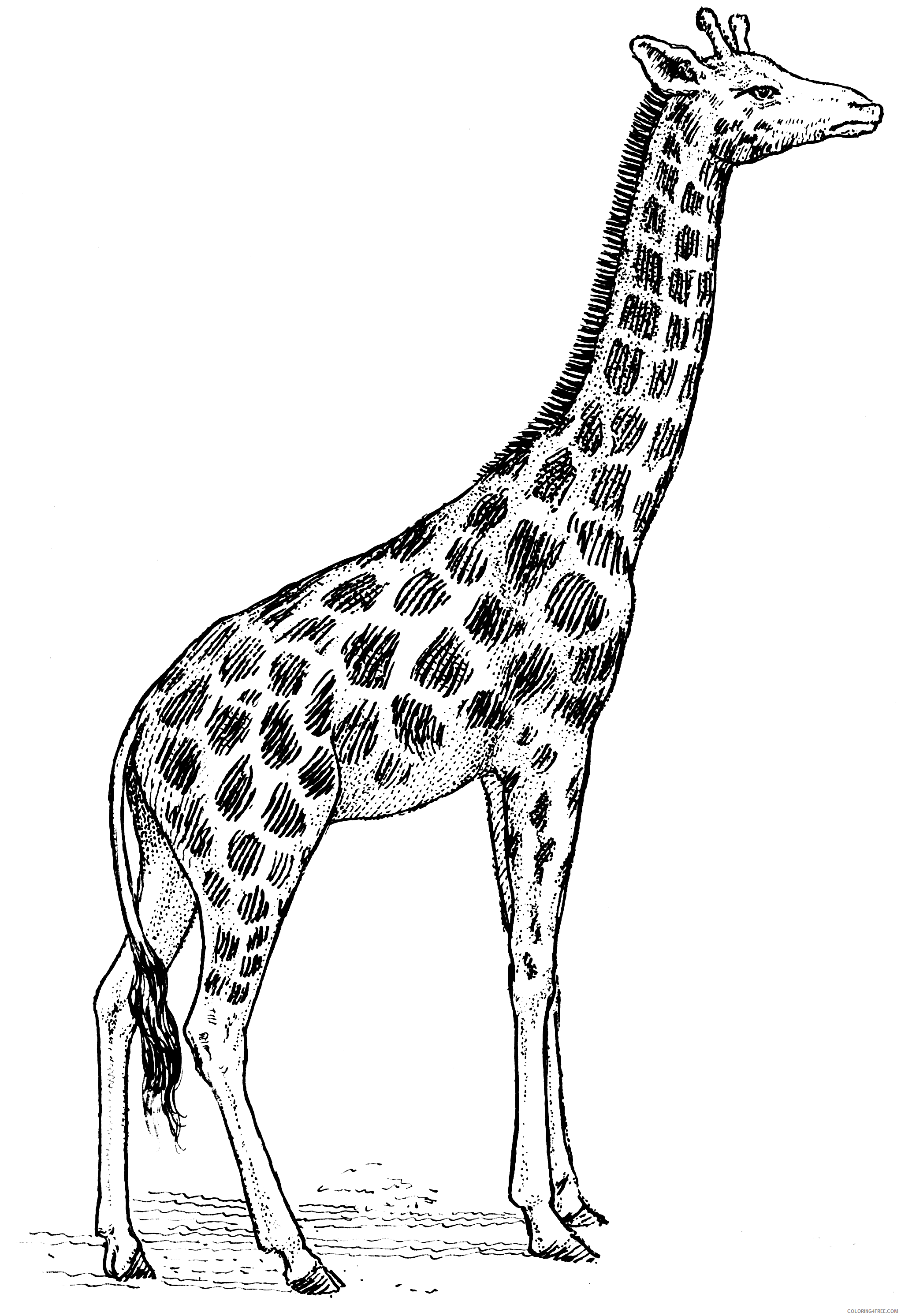 Black and White Giraffe Coloring Pages description giraffe j 707 psf Printable Coloring4free
