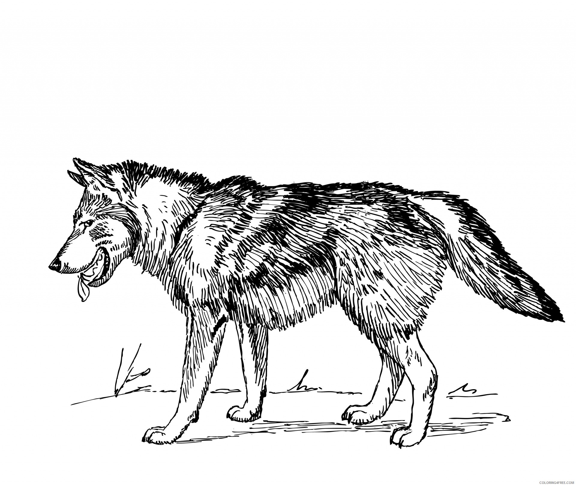 Gray Wolf Coloring Pages gray wolf 27 Printable Coloring4free