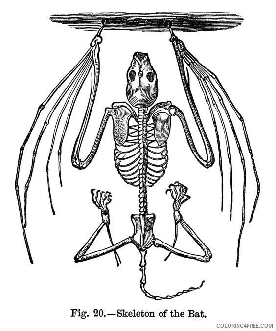 Halloween Bats Coloring Pages bat skeleton free vintage clip Printable Coloring4free