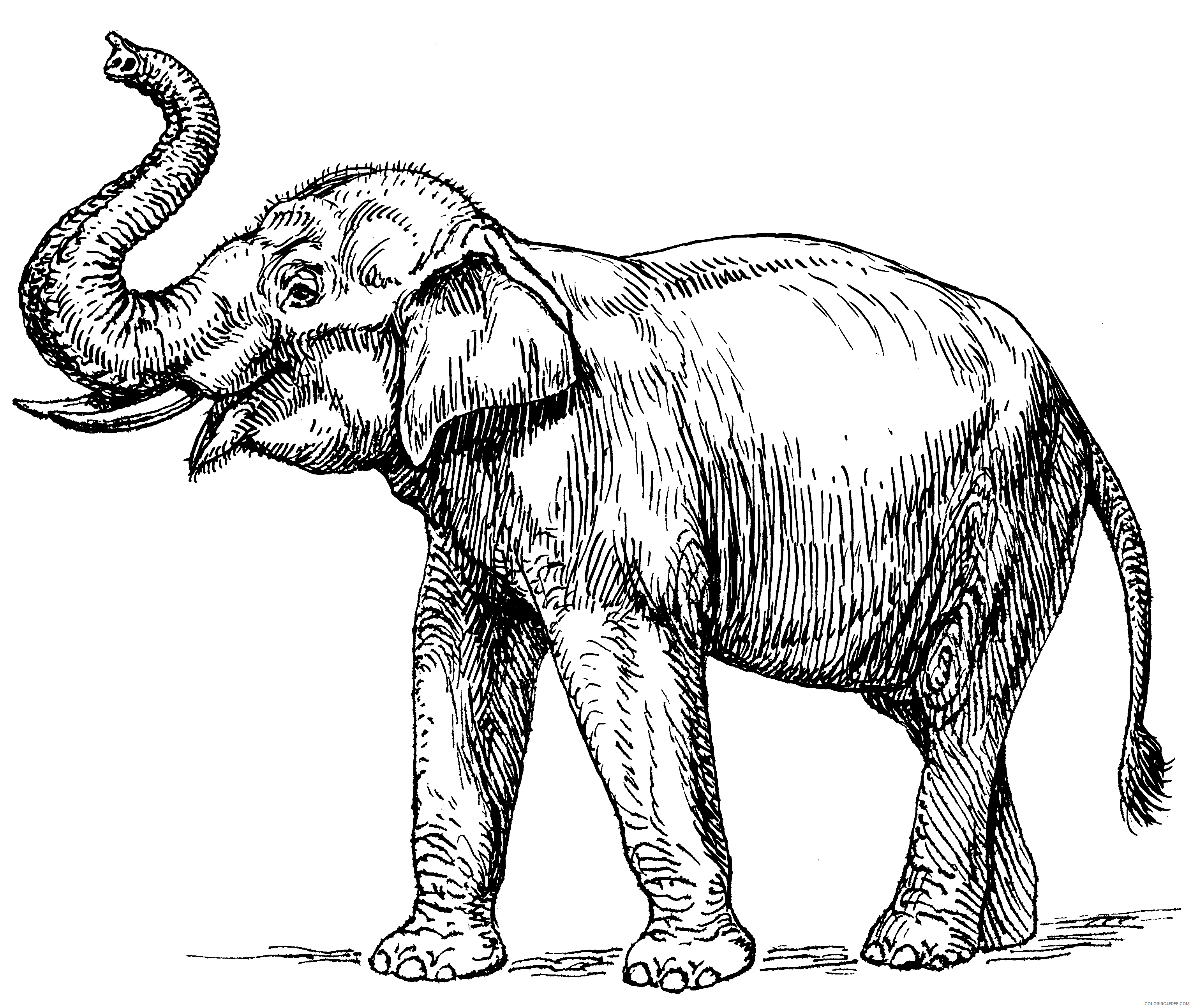 Adult Elephant Coloring Pages Realistic Elephant for Adults Printable 2020 285 Coloring4free