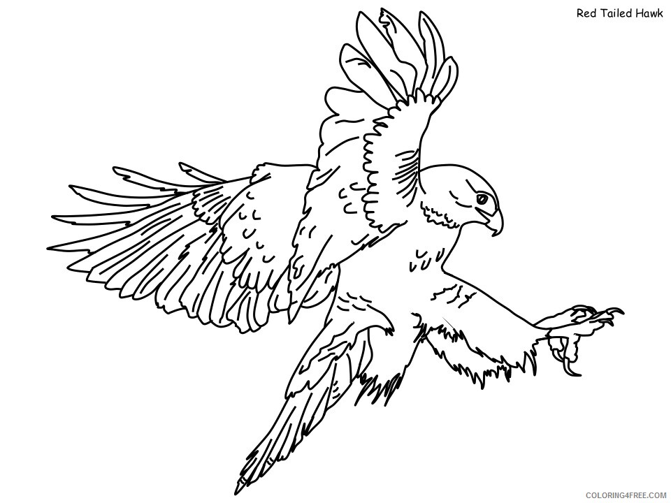 Hawk Coloring Pages Animal Printable Sheets red tailed hawk 2021 2619 Coloring4free