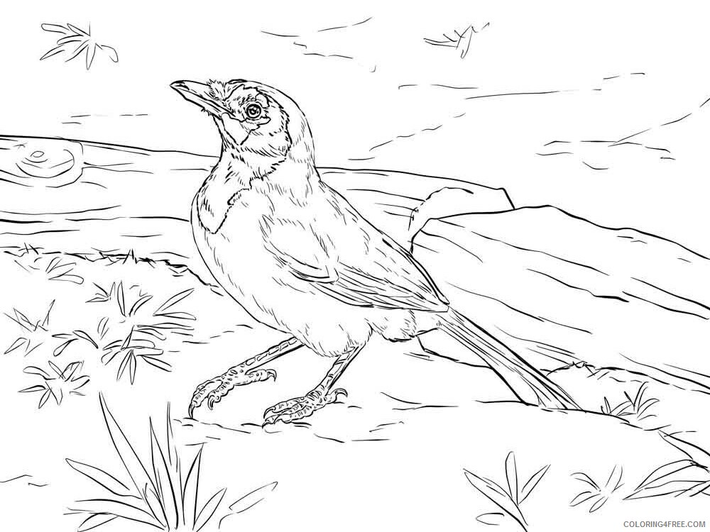 Jay Coloring Pages Animal Printable Sheets Jay birds 10 2021 2917 Coloring4free