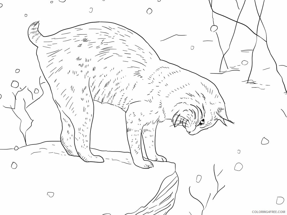 Lynx Coloring Pages Animal Printable Sheets Lynx animal 339 2021 3245 Coloring4free