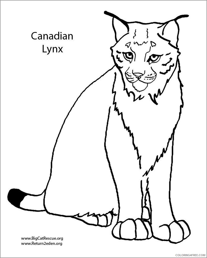 Lynx Coloring Pages Animal Printable Sheets canadian lynx 2021 3241 Coloring4free